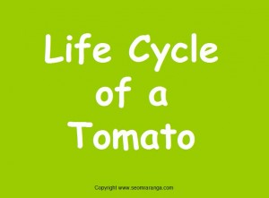 Life Cycle of a Tomato