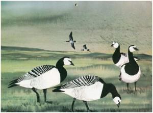 Barnacle Geese - Van Gelderen
