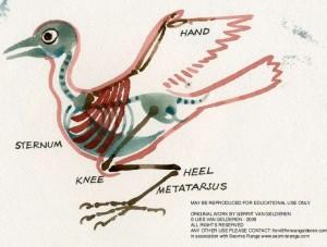 Bird Skeleton - Van Gelderen