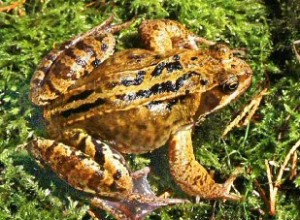 Common Adult Frog